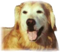 Golden Retriever Rescue Inc Nj Newsletter Summer 2002 Happy News